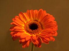 Gerber daisy Gerber Daisies, Daisy, Plants, Gerbera, Margarita Flower, Daisies, Plant, Planets