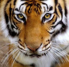 If possible, I want a tiger when I get to heaven. They are so beautiful.