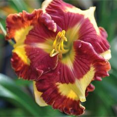 Can't Touch This. What an awesome daylily.