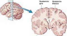 """Formada por axones de neuronas, la sustancia blanca se ocupa de la transmisión de información de una célula a otras neuronas, de unir los fragmentos de médula. Se halla en las regiones más internas del cerebro. Es una región cerebral que no contiene núcleos neuronales. En este artículo publicado en """"Lifeder"""", aparecn detalladas las características, funciones estructura de esta sustancia, así como sus debidas imágenes que facilitan una mayor comprensión del contenido.  Bibliografía:  -Bartrés…"""