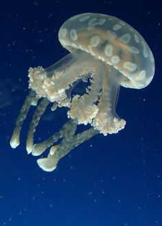 Jellyfish by djeetee, via Flickr