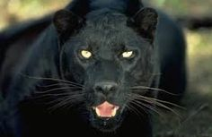 A black panther is the melanistic color variant of any Panthera species. Black panthers in Asia and Africa are leopards (Panthera pardus) and black panthers in the Americas are. Black Panthers, Animal Jaguar, Tier Wallpaper, Animal Wallpaper, Leopard Wallpaper, Jaguar Wallpaper, Wallpaper Gallery, Cat Wallpaper, Nature Wallpaper