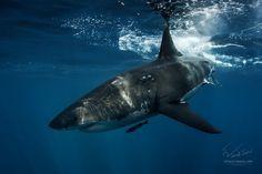 Great White Shark by Vitaliy Sokol on Orcas, Shark In The Ocean, Underwater Photos, Ocean Underwater, Oceans Of The World, Shark Bites, Great White Shark, Marine Life, Animals Beautiful