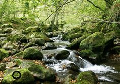 EL ROBLEDAL DE UCIEDA. Está situado al sur de la sierra del Escudo de Cabuérniga dentro de Parque Natural de Saja-Besaya al norte de la Cordillera Cantábrica. Crecen robledales de roble común, rebollo y albar junto con hayedos. Castaños, arces, tilos, espinos y avellanos. Robles catalogados: el Roble Gordo, con un perímetro de 12 metros; el Buzalgoso, o el Canalejas.