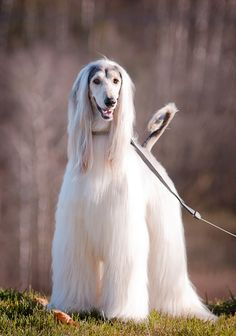 #afghan #hound out for a walk...  #hounds #dogs #pets #animals #bokeh #photography
