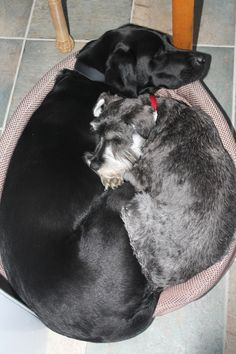 Busby the schnauzer cuddling hos best mate!