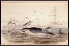 Engraving of a pernettys dolphin from THE NATURALIST'S LIBRARY MAMMALIA VOL. VI (WHALES).