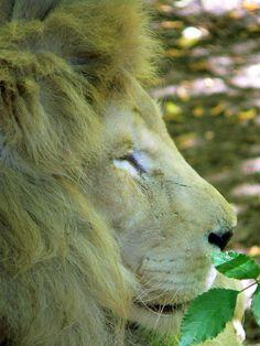 Zoo de Beauval - Lion 14