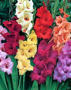 Plants that attract Hummingbirds. Gladiolus. Canadale Nurseries Ltd.