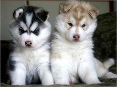 735 Best Huskies Poms Poodles Images On Pinterest Cute Dogs