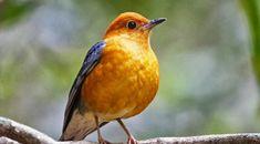Kicau Anis Merah Burung Anis Merah yang memiliki sebutan lain Punglor Merah atau Punglor Cacing ini populasinya di Indonesia sendiri cukup banyak dan tersebar di berbagai wilayah yang ada, jenisnya…