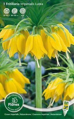 De keizerskroon: de naam zegt het al, dit is een keizerlijke bloem die met zijn hoge bloemen majestieus uitsteekt in uw border. Frittilaria imperialis Lutea is een gele variant. Het najaar is weer de tijd om deze bollen te planten en volgend voorjaar te genieten van de prachtige bloemen. De geur die de bollen afgeven verdrijft mollen, dus tevens een natuurlijke mollenverdrijver. Bestellen kan in onze webshop. Op = op. Bestel makkelijk en snel bij huisentuinkado.nl