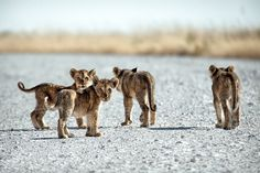 Little cubs by Ben McRae on 500px