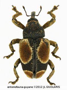 Cylindrothecus orbifer Fiedler, 1944