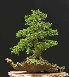 European Spruce Bonsai of Walter Pall