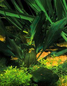 Echinodorus «Apart»
