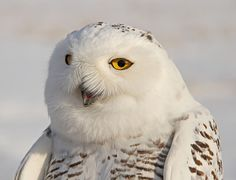 Snowy Owl - Civetta delle nevi (Bubo scandiacus): national bird of Québec