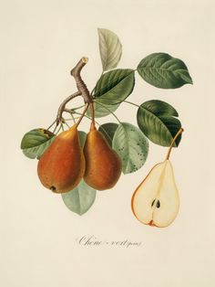 tangledwing: Old botanical print of a pear (Pyrus) branch and fruit.