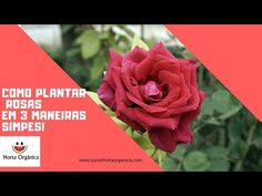 COMO PLANTAR ROSAS EM TRÊS MANEIRAS SIMPLES - YouTube Youtube, Embroidery, Succulent Landscaping, Rose Trees, Wall Trellis, Vegetable Gardening, Gardening, Simple, Braised Cabbage