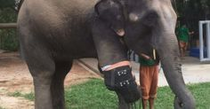 Meet Mosha, the Elephant who Received a Prosthetic Leg after a Landmine Explosion. Mosha, the Asian elephant, received the first prosthetic limb made especially for her species. Elephant Walk, Asian Elephant, Prosthetic Leg, 7 Month Olds, Digital Trends, Great Stories, Cute Photos, First World, Beautiful Creatures