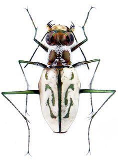 Habroscelimorpha dorsalis