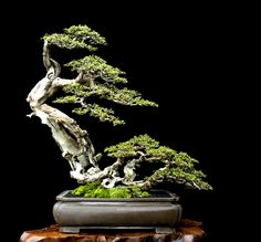 bonsai | flowering cherry Bonsai