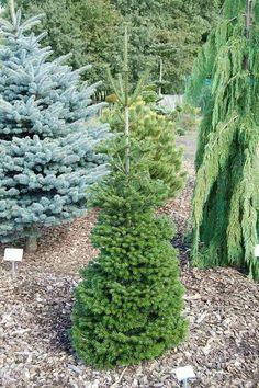 Abies nordmanniana 'Searling' Plants, Landscape, Conifers Garden, Picea Abies, Conifers, Winter Garden, Rhododendron, Tree, Garden