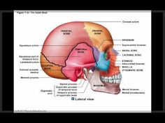 Chapter 7 Module 1 Axial Skeleton and the Skull Axial Skeleton, Anatomy Images, Skull Anatomy, Pta School, Nursing School Tips, Skeletal Muscle, Anatomy And Physiology, School Hacks, Massage Therapy