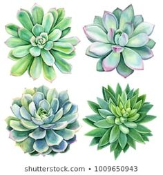 set of succulents, green bouquet, echeveria watercolor illustration, botanical painting - Buy this stock illustration and explore similar illustrations at Adobe Stock Succulents Drawing, Watercolor Succulents, Watercolor Flowers, Succulents Painting, Succulents Art, Watercolour, Watercolor Tattoo, Arte Floral, Watercolor Images