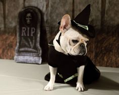 Halloween #FrenchBulldog