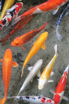 Pin by marie r on sealife pinterest language galleries and fish - Carpe koi signification ...