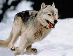 Lobo con radio marcaje de control biológico para su estudio en libertad.