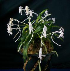 Neofinetia falcata Jitsu-Gekkou Golden Star, Photos, Plants, Pictures
