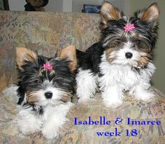 so sweet! :) Pictures of Biewer Yorkie Dog Breed