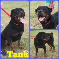 Tank is a male Rottweiler and is 7 yrs old and weighs 93 lbs. He is neutered. Will be available 5-15-17.