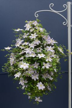 Clematis for hanging basket