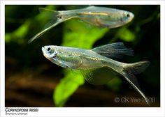 Corynopa risei, Swordtail characin.  Very rare in the hobby today.  A pink strain was the most common in days past.