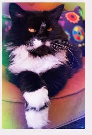 come back to me, BeBee  black and white long haired tuxedo cat