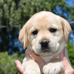 Golden Retriever Puppies Reputable and Passionate Labrador Retriever Breeder in New York: We breed our Labrador puppies in our home for the Love of the Labrador Retriever breed. Lab Puppies, Cute Puppies, Cute Dogs, Dalmatian Puppies, Golden Retrievers, Labrador Yellow, Golden Labrador, Most Popular Dog Breeds, Aggressive Dog