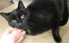 Intake: 2/24  Available: Now  NAME: Valley Girl  ANIMAL ID: 25037744  BREED: DSH  SEX: Female  EST. AGE: 7 yrs  Est Weight: 8.2 lbs  Health:  Temperament: Friendly  ADDITIONAL INFO:  RESCUE PULL FEE: $39