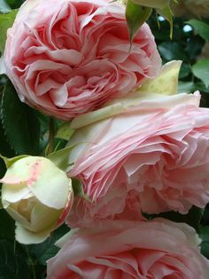 """Rosa 'Eden' (synonyms 'Pierre de Ronsard', 'MEIviolin', 'Eden Rose 85') The cultivar was created by Marie-Louise Meilland & introduced in France by Meilland International in 1985 as part of the Renaissance® Collection as 'Pierre de Ronsard', after the French renaissance poet. Blooms have an average diameter of 3"""" & are very full (55 - 60 petals). The tall climber grows 39"""" to 12'. Winter hardy (USDA zone 5b through 9b) & very disease resistant. Rose Hall of Fame 2006.  #garden"""