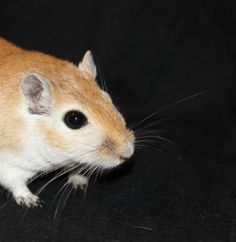 Awesome Gerbil set up shopping list on this site! also great food comparison.