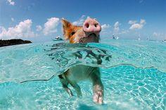 Wild pigs swim in the Exumas, Bahama