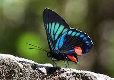 Resultado de imagen para mariposas monarcas en colombia