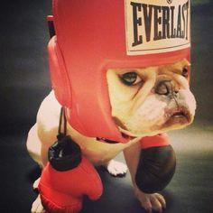 Not bulldog, I'm a boxer