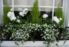 Summer window box... white geranium and Bacopa