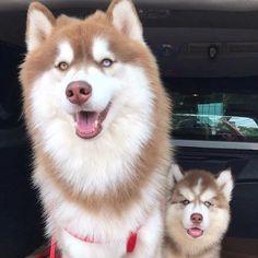 "4,226 Likes, 17 Comments - Siberian Husky (@officialhuskylovers) on Instagram: ""#huskythings #officialhuskylovers #ohl #huskylove #huskygram Check link in bio:…"""