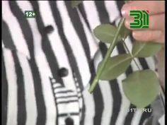 Экономь деньги, черенкуй розы сам