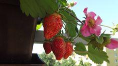 Strawberry, Fruit, Food, Eten, Strawberry Fruit, Strawberries, Meals, Diet