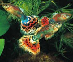 Kuvahaun tulos haulle akvaario kalat